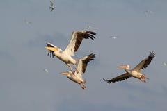 Troep van drie pelikanen het vliegen Royalty-vrije Stock Afbeelding