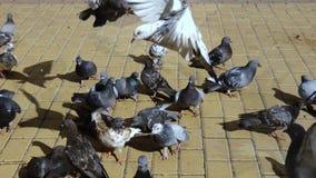 Troep van duiven stock footage