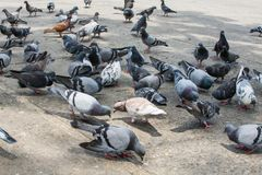 Troep van duiven royalty-vrije stock foto's