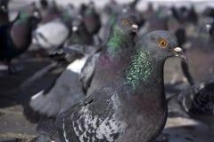 Troep van duiven van binnen Royalty-vrije Stock Fotografie