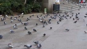 Troep van duiven die brood in openlucht in het stadspark eten Langzame Motie stock footage
