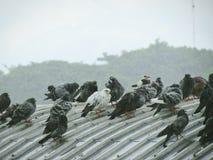 Troep van duiven die zich op het dak bevinden Op de dag van zware regen en bewolking Stock Afbeeldingen