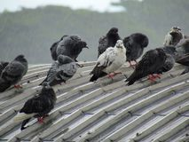 Troep van duiven die zich op het dak bevinden Op de dag van zware regen en bewolking Royalty-vrije Stock Foto