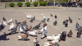 Troep van duiven en weinig jongen in stadsvierkant stock footage