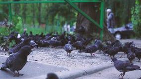 Troep van duiven Heel wat duiven op een gang in het Park stock videobeelden