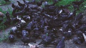 Troep van duiven Heel wat duiven op een gang in het Park stock footage