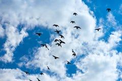 Troep van duiven het vliegen royalty-vrije stock afbeeldingen
