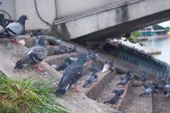 Troep van duiven op tribune in het park stock foto's