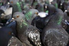 Troep van duivenclose-up Royalty-vrije Stock Foto's