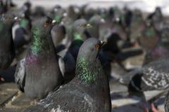 Troep van duivenclose-up Stock Afbeelding