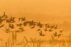 Troep van eenden bij dageraad Stock Foto