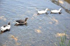 Troep van eenden op de rivier stock fotografie