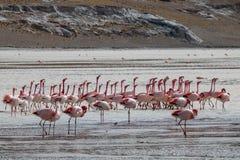 Troep van flamingo's stock afbeeldingen
