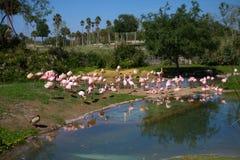 Troep van Flamingo's Stock Fotografie