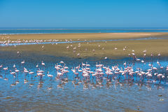 Troep van flamingo's bij Walvis-Baai, Namibië Royalty-vrije Stock Fotografie