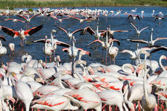 Troep van Flamingo's in Camargue Royalty-vrije Stock Fotografie