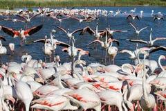 Troep van Flamingo's in Camargue Royalty-vrije Stock Fotografie