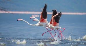 Troep van flamingo's het opstijgen kenia afrika Nakuru National Park De Nationale Reserve van meerbogoria stock foto