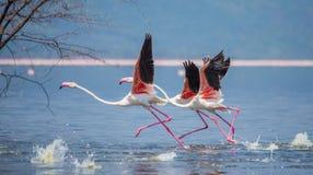 Troep van flamingo's het opstijgen kenia afrika Nakuru National Park De Nationale Reserve van meerbogoria royalty-vrije stock foto