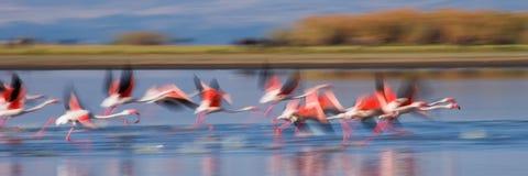 Troep van flamingo's het opstijgen kenia afrika Nakuru National Park De Nationale Reserve van meerbogoria royalty-vrije stock foto's