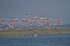Troep van flamingo's tijdens de vlucht royalty-vrije stock afbeeldingen