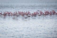 Troep van flamingoes stock fotografie