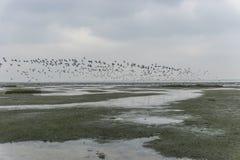 Troep van gans in het wadden overzees dichtbij holm Langeness Royalty-vrije Stock Fotografie