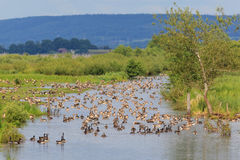 Troep van ganzen die in de rivier rusten Royalty-vrije Stock Foto's