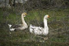 Troep van ganzen die op groen gras weiden royalty-vrije stock foto's