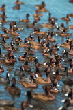 Troep van ganzen die van het meerwater genieten Royalty-vrije Stock Afbeelding