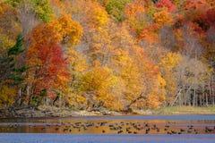 Troep van ganzen op een meer Royalty-vrije Stock Afbeeldingen