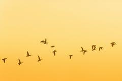 Troep van ganzen in sunrice royalty-vrije stock afbeelding
