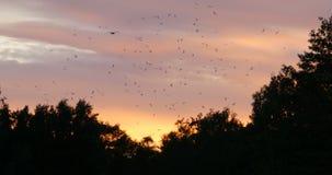 Troep van gealarmeerde vogels in de avond hemel stock footage