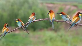 Troep van gekleurde vogels die op een tak zitten stock videobeelden