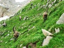 Troep van Gemzen of Rupicapra-rupicapra L n de rand van de bergmassa Alpstein royalty-vrije stock afbeelding