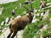 Troep van Gemzen of Rupicapra-rupicapra L n de rand van de bergmassa Alpstein stock foto