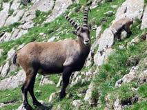 Troep van Gemzen of Rupicapra-rupicapra L n de rand van de bergmassa Alpstein royalty-vrije stock foto's