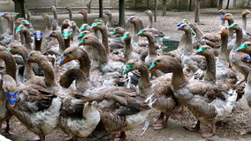 Troep van grill binnenlandse ganzen op het landbouwbedrijf stock videobeelden