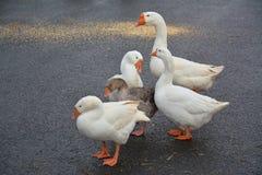 Troep van grote mooie ganzen die zich op de weg bevinden Stock Foto