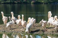 Troep van Grote Witte Pelikanen Stock Afbeeldingen