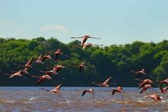 Troep van grotere flamingo's Stock Foto's