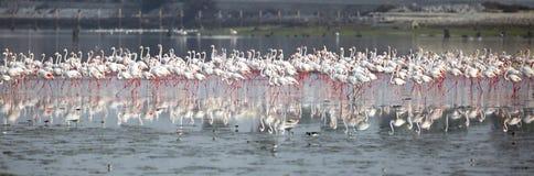 Troep van grotere Flamingo's in Eker-kreek Bahrein Royalty-vrije Stock Fotografie