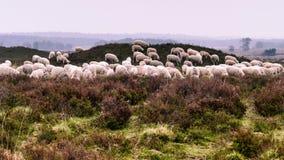 Troep van het weiden van Veluwe Heath Sheep op een kruiwagen stock afbeelding