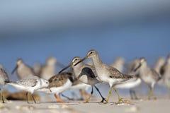 Troep van hetGefactureerde griseus van Dowitcher Limnodromus voederen op het strand van Florida Royalty-vrije Stock Foto