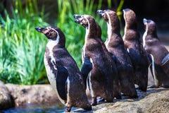 Troep van Humboldt-Pinguïnen die zich door de Rand van het Water bevinden royalty-vrije stock fotografie
