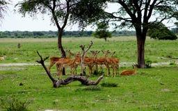 Troep van impala antilopes in botsuana stock foto's