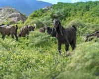 Troep van jonge geiten die op een weiland in de bergen op een zonnige de zomerdag weiden Het ras van Anglonubian van binnenlandse royalty-vrije stock afbeelding