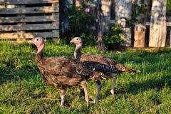 Troep van kalkoenen op het boerenerf Thanksgiving daysymbool Stock Fotografie