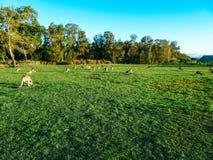 Troep van kangoeroes die en in de middag rusten voeden royalty-vrije stock afbeeldingen