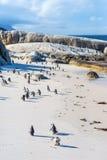 Troep van kleine Afrikaanse pinguïnen bij Keistrand Royalty-vrije Stock Foto's